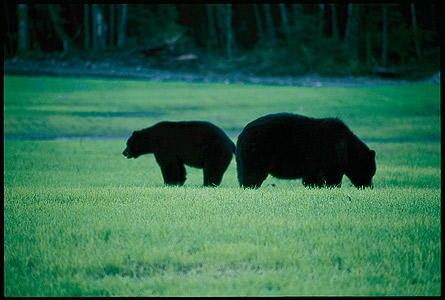 """Wer """"Glück"""" hat, kann auch mal Bären in freier Wildbahn erleben"""