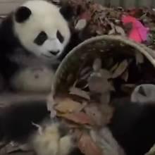 Panda verhindert das Aufräumen