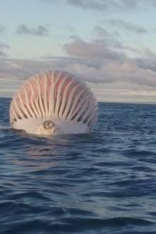 Ein toter Wal vor der Westküste Australiens