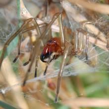 Die Ammen-Dornfinger-Spinne.