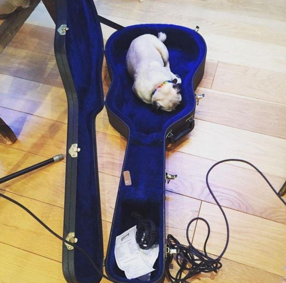 Aussie, der Mops von Ronan Keating ist ein echter Studiohund und macht es sich in seinem Körbchen gemütlich.