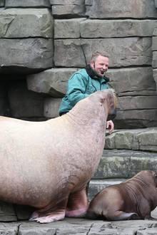 Sichtlich beeindruckt von der Größe der Mama tauft Jörg Pilawa etwas zögerlich die 130 Tage alte Walrossdame Loki mit echtem Elbwasser. Den Tierpfleger amüsiert's.