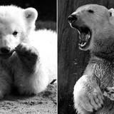 19. März: Knut (4 Jahre)