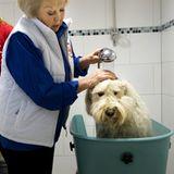 """16. März 2012: Könign Beatrix wäscht im Rahmen des Projekts """"NL Doet in Molenschot"""" einen Hund in einer Hundeschule."""