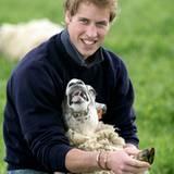 Prinz William - Schaf