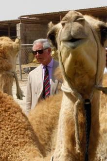 Auch die Kamele auf der Farm werden genau inspiziert.