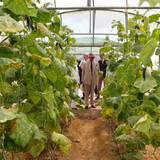 Auf der Al Safwa Farm in Katar begutachtet Prinz Charles die Weinreben.