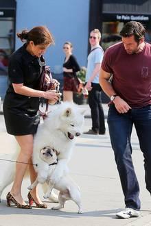 ... als ein viel größerer Hund mit seinem Frauchen des Weges kommt und sich direkt auf den Rüden stürzt. Eine freundliche Umarmung sieht anders aus. Das denken sich wohl auch Hugh Jackman und die Besitzerin des weißen, nordischen Spitzes.