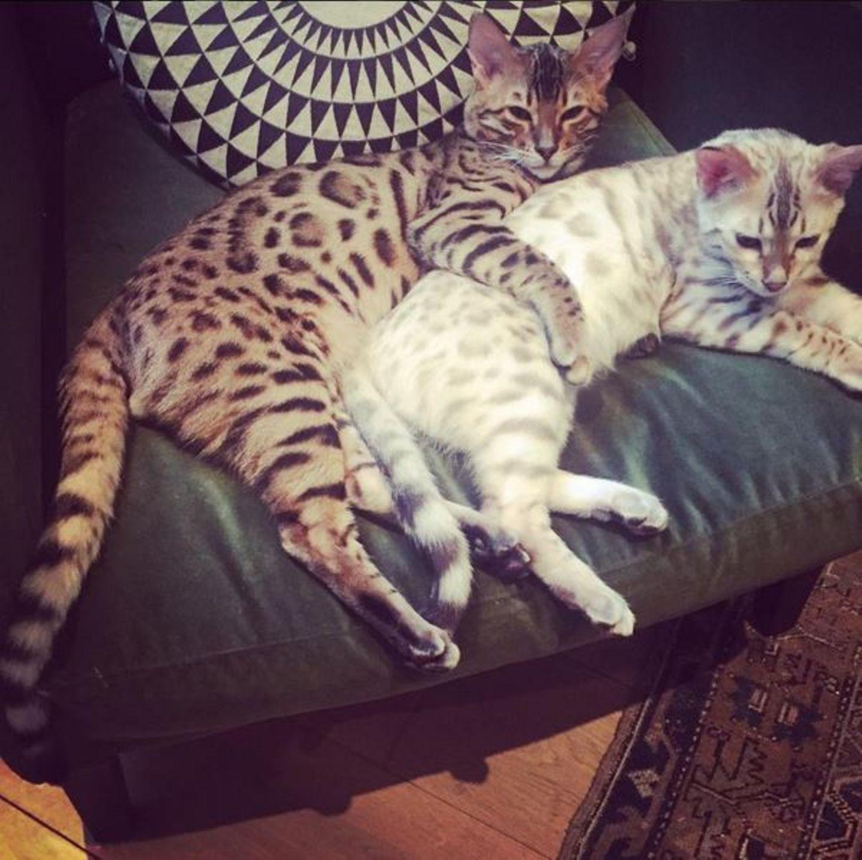 """Ellie Gouldings getigerte Katzen lieben die Löffelchen-Stellung. """"Man könnte meinen sie wären ein Paar"""", schreibt Ellie dazu."""