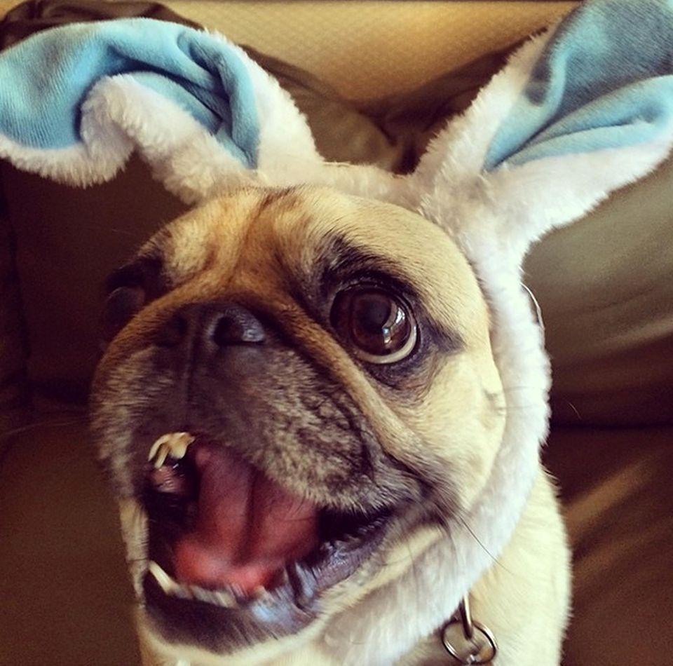 """""""Frohe Ostern vom Oster-Mops!"""" Leonard ist eine wichtige Stütze für Robin Williams im Kampf gegen die Depression. Er lässt offenbar alles mit sich machen."""