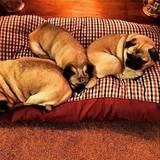 Die Möpse Mary, Maude, Monty, Molly und Margot können nicht ohne einander. Trotz der Größe ihres Zuhauses schmusen sie am liebsten auf kleinstem Raum.