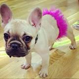 Eine französische Bulldogge im Tutu? So ganz einverstanden scheint Miss Peggy mit ihrem Look nicht zu sein.