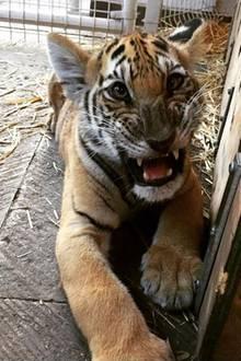 Dazu gehört auch Tigerbaby Nicole, das es Kaley scheinbar besonders angetan hat.