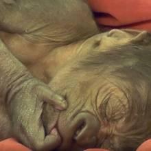 Das Gorilla-Baby erholt sich von der Geburt