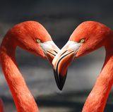 """Strand von Aruba  In der 5. Staffel mischten sich Oliver Sanne und Kandidatin Sarah unter die Flamingos am Strand von Aruba. Danach stand Parasailing auf dem Programm.  Ein weiteres Symbol der Insel, das """"Travelcircus"""" als sehenswert bezeichnet, sind übrigens die Divi-Divi-Bäume. Diese findet man am Eagle Beach."""