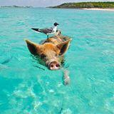 """Bahamas  Ein tierisch besonderes Date haben Leonard Freier und """"seine"""" Leonie auf den Bahamas. Hier treffen sie beim Baden auf süße Schweinchen, die den Strand so berühmt machen.  Für Luxus-Liebhaber hat """"Travelcircus"""" einen Tipp der Extraklasse: das edle Resort """"Tiamo Resort"""" mit einem sechs Kilometer langen Privatstrand."""