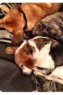 Die wichtigsten Schätze in Meghan Markles Leben, die ihr nie von der Seite weichen: Guy und Bogart, ihre süßen Hunde.