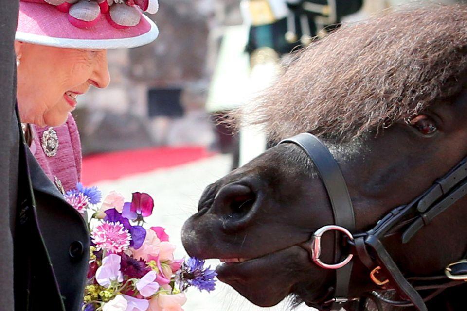 """5. Juli 2017  Pony Cruachan IV, das Maskottchen des """"Royal Regiment of Scotland"""", nimmt bei der 70. Gedenkfeier der Ernennung der Queen als """"Colonel-in-Chief der Argyll and Sutherland"""" keine Rücksicht auf royale Etikette und knabbert am Blumenstrauß von Queen Elizabeth."""