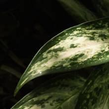 Riskante Dekoration: Die Anschaffung dieser Zimmerpflanze sollten Sie überdenken