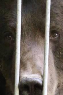 Bär hinter Gitter