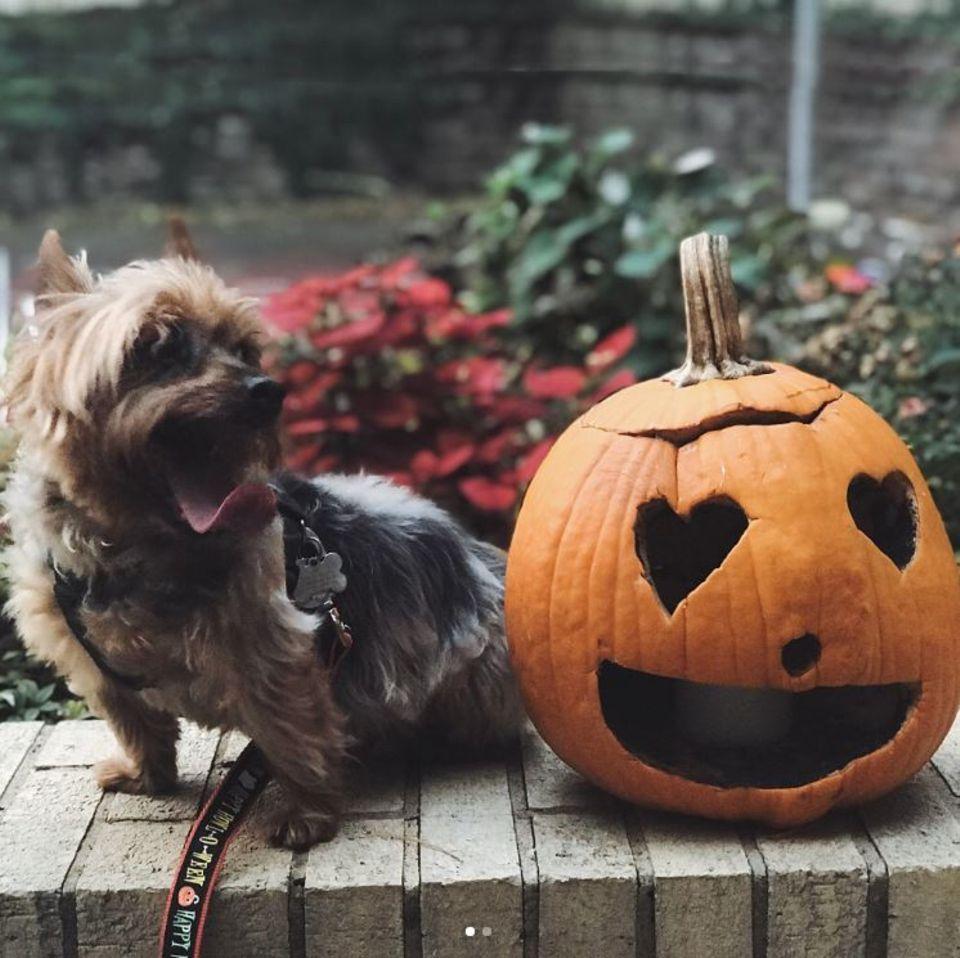 Karlie Kloss' Vierbeiner übt schon Mal das Erschrecken zu Halloween.