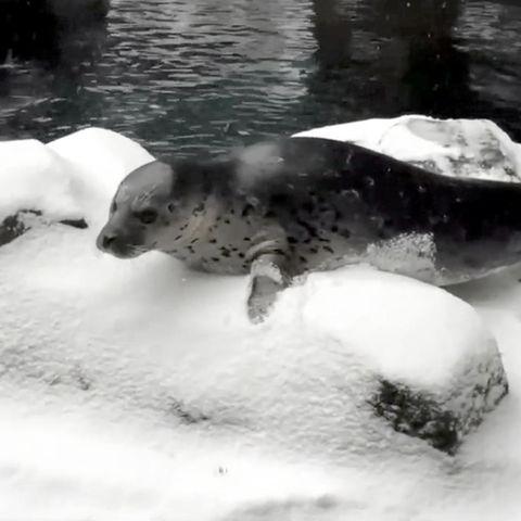 Ein Seehund genießt den Schnee.