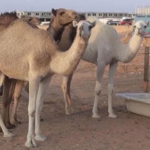 Kamel-Doping.
