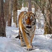 Rettung in letzter Sekunde: Sibirischer Tiger vor Haustür gefunden