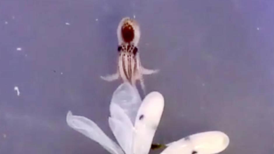 Geburt eines Tintenfischs: Dieses unglaubliche Video begeistert das Netz