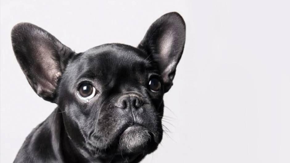 Bulldogge / Symbolbild