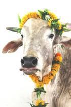 16. Mai 2018  PrinzHarry und MeghanMarklewerden zweifellos die unterschiedlichsten Hochzeitsgeschenke erhalten. Doch das Geschenk von PETA India wird wohl einzigartig bleiben: Die Organisation adoptierte im Namen des glücklichen Paares einen indischen Bullen und nannte ihn zu Ehren der beidenMerry– eine Mischung aus Meghan und Harry.