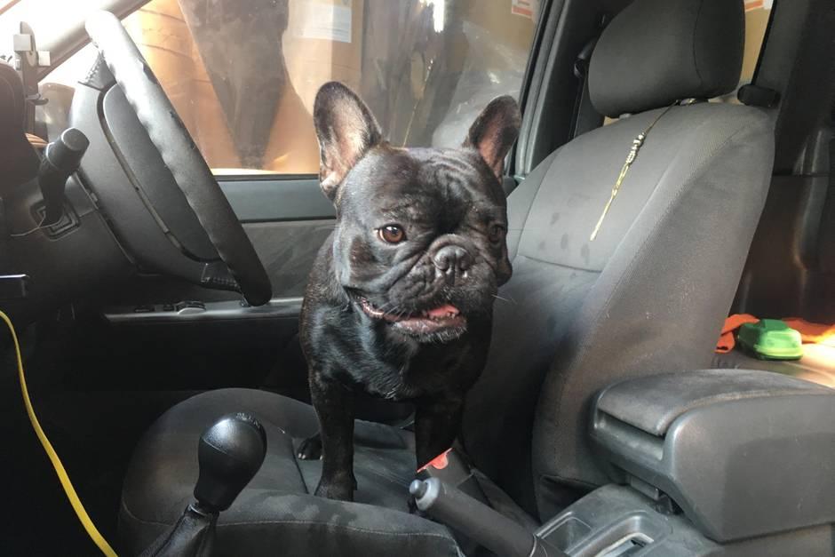 Eine französische Bulldogge im Auto. Wie lange das wohl gut geht?