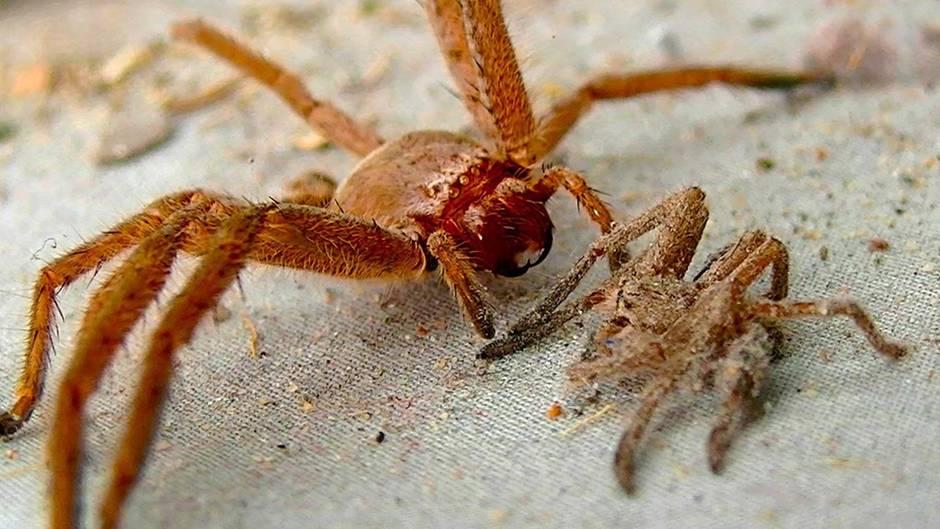 Ih, da krabbelt es!: Das sind die 5 giftigsten Spinnen