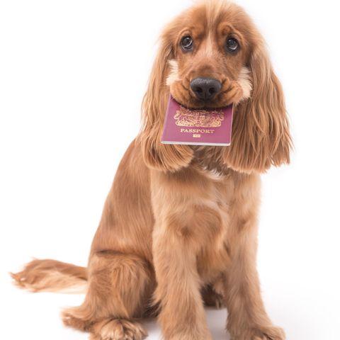 Urlaub zerstört: Kein Urlaub für Familie, weil Hund Reisepässe gefressen hat