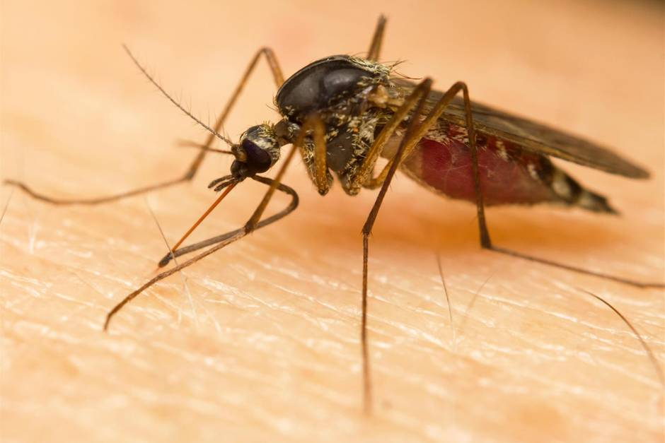 Eine Mücke sticht zu.