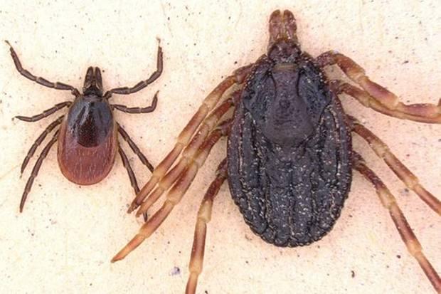 Hyalomma marginatum (r.) im Vergleich zum Gemeinen Holzbock.