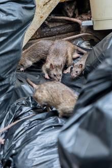 Die deutschen Großstädte haben ein Rattenproblem.
