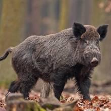Ein Rentner in Berlin hat ein Wildschwein erschlagen. Der Grund ist kurios