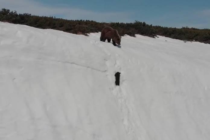 Eine Drohne erschrickt die Bären-Mama und bringt den Kleinen zum Sturz