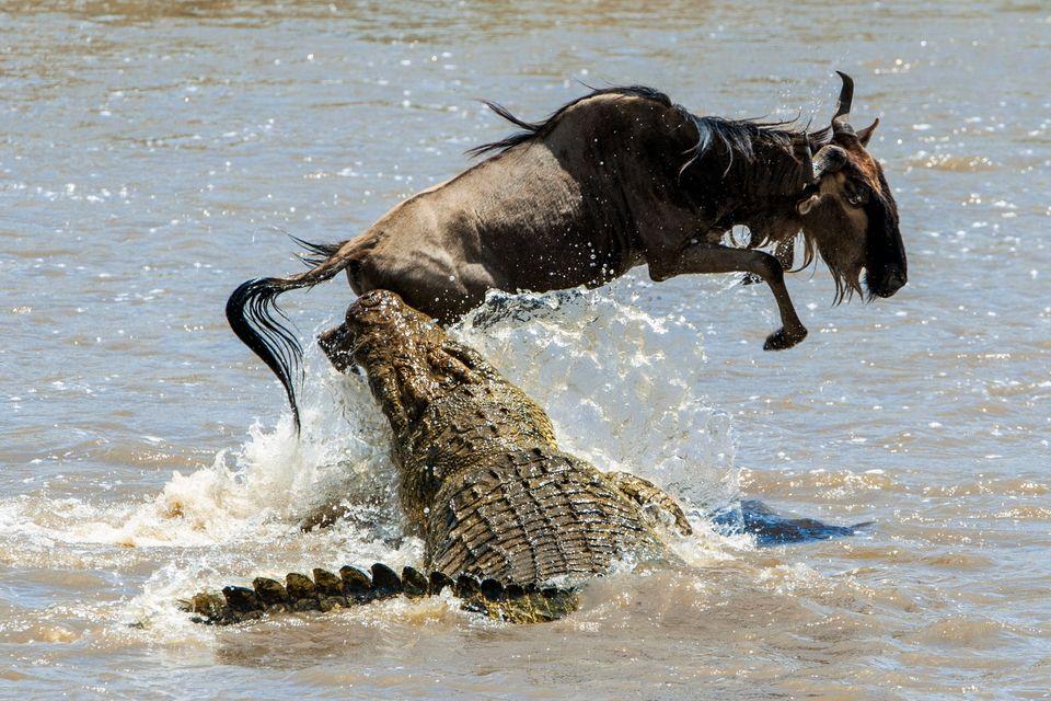 Gnu und Krokodil messen ihre Kräfte