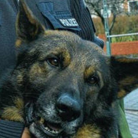 Tierischer Held: Dieser Polizeihund hat eine Kugel für sein Herrchen abgefangen!