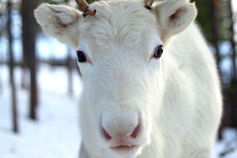Weiße Rentiere sind keinesfalls Albinos und doch eine Besonderheit