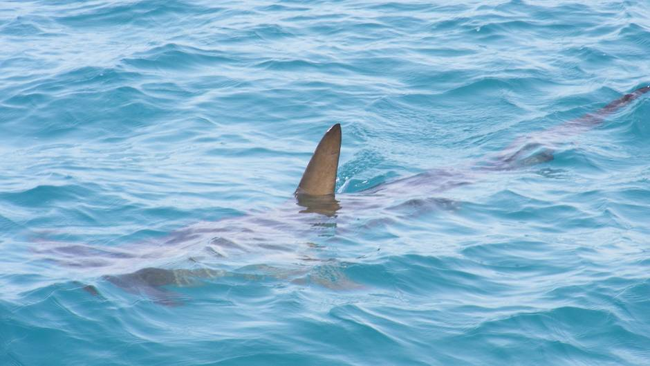 Sensationsfund in Mittelamerika: Forscher entdecken neue Hai-Art mit riesigem Kopf