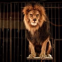 Ein Löwe im Zirkus