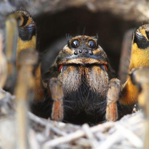 In Australien gibt es besonders viele Arten von Spinnentieren.