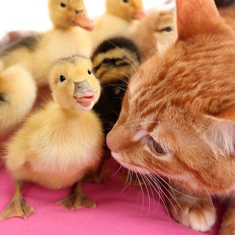 Katze und Küken können auch Freunde sein