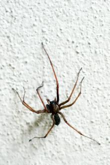 Spinnen in den eigenen vier Wänden - für einen australischen Mann eine Katastrophe