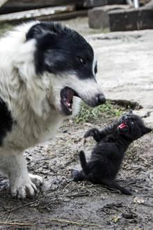 Ein Kampf zwischen Hund und Katze - wer gewinnt?