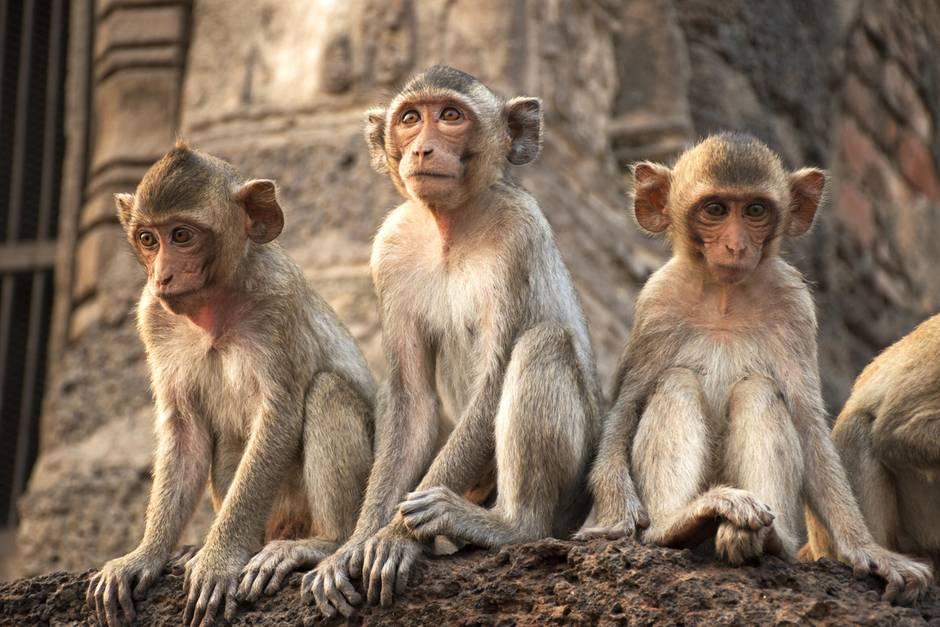 In Shanghai wird ein Affe mehrfach geklont