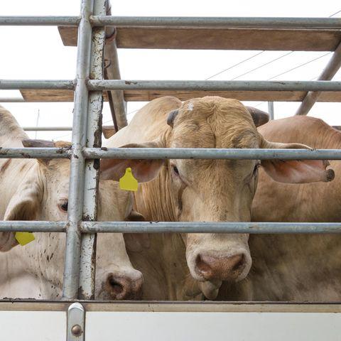In Polen sollen kranke Rinder geschlachtet worden sein